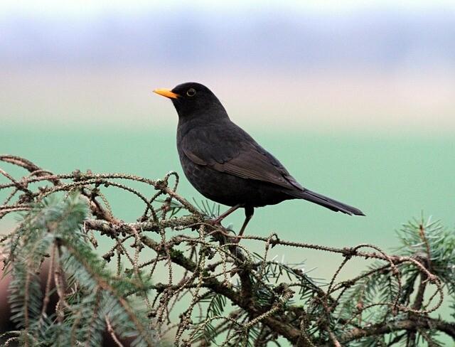 blackbird-514369_640
