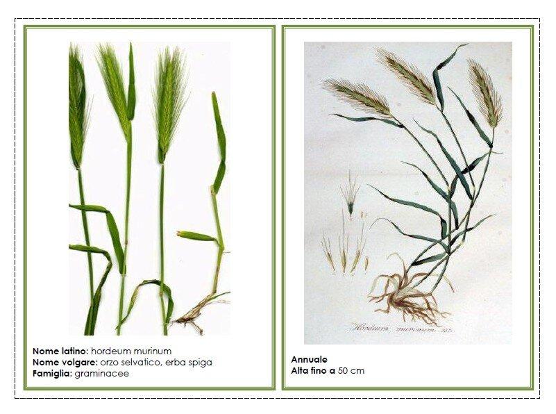 Schede per il riconoscimento delle erbe del prato for Tipi di prato