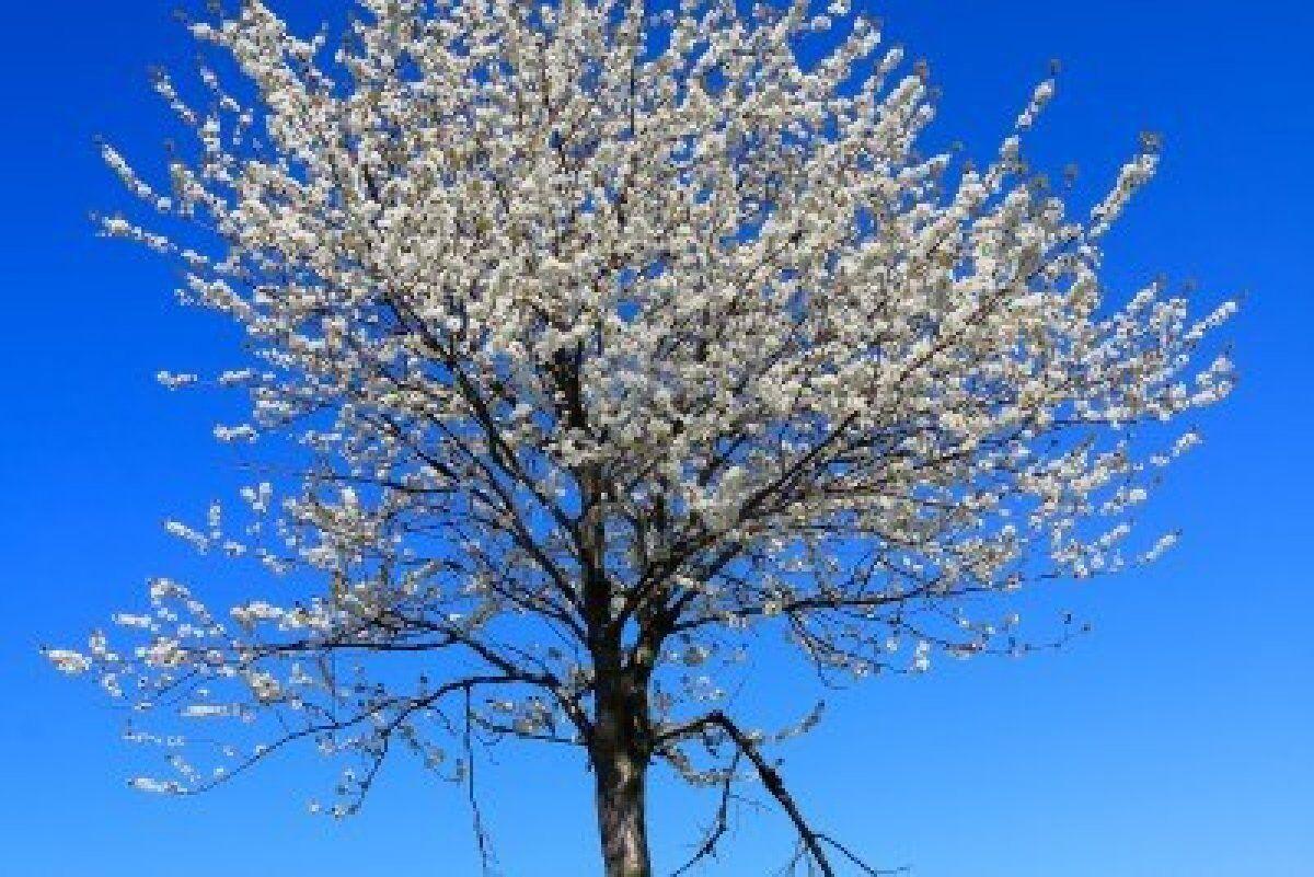 8603742-albero-che-fiorisce-in-primavera-paesaggio