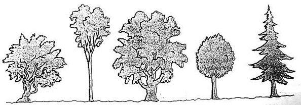 Dettati ortografici e materiale didattico sulle piante for Nomi di alberi sempreverdi