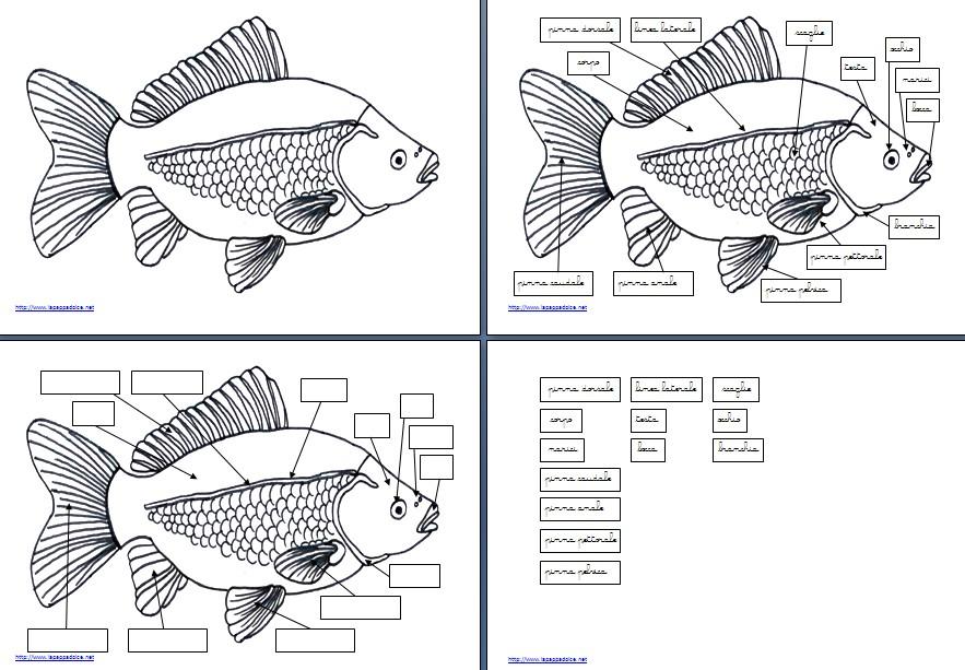 Nomenclature montessori per le parti del pesce lapappadolce for Pesci da colorare e ritagliare