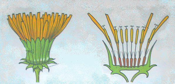 fiore di soffione in sezione