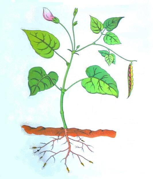 pianta di fagiolo