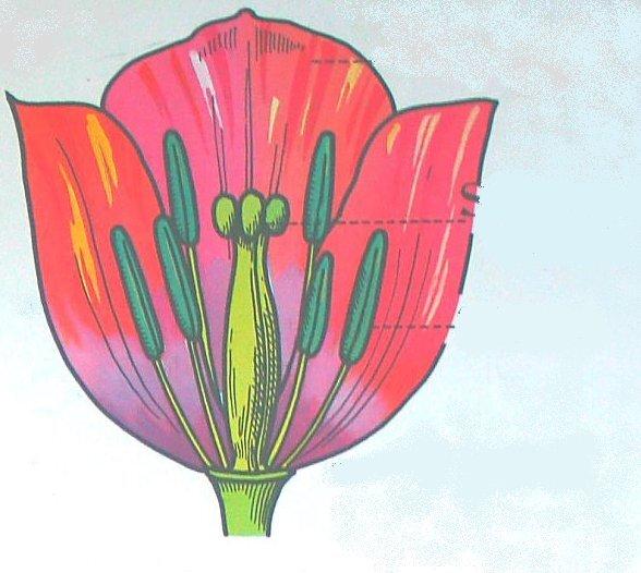 liliacee fiore in sezione
