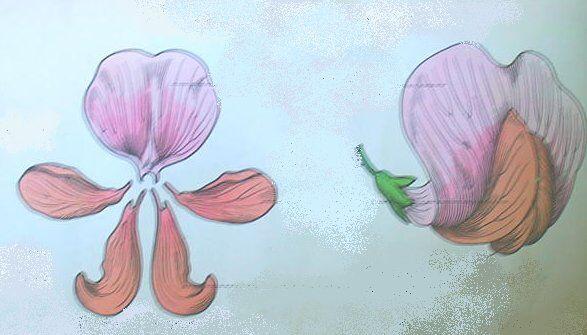 fiore del fagiolo