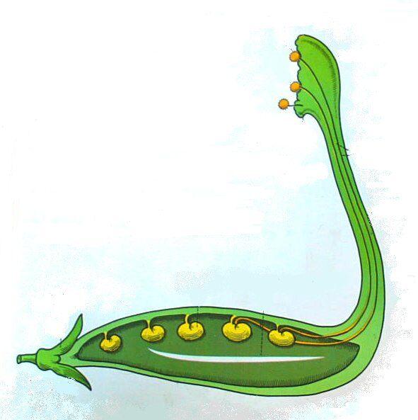 tubetto pollinico