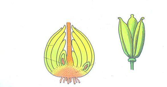 bulbo e frutto delle liliacee