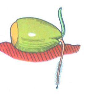 germinazione