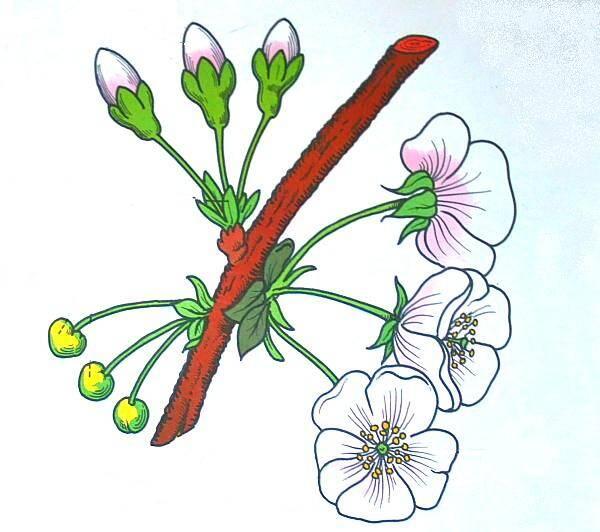 Il fiore del ciliegio
