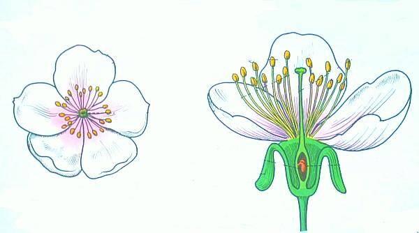 Il fiore del ciliegio in sezione