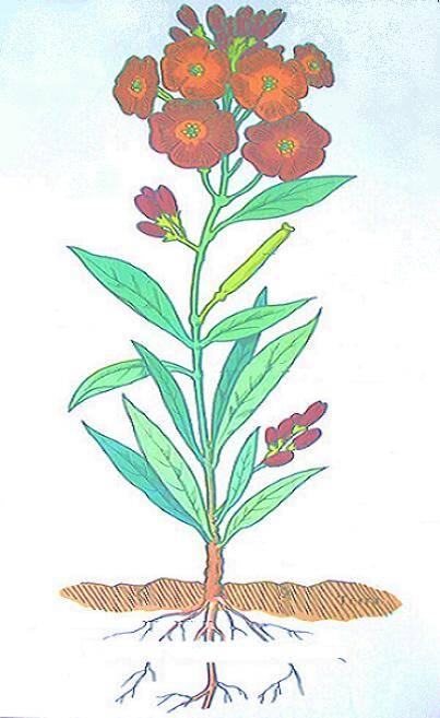 CROCIFERE - la violacciocca La pianta completa