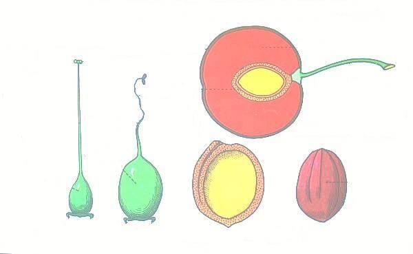 La formazione del frutto