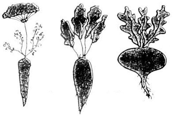 carota barbabietola e rapa
