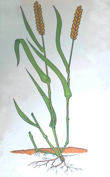 pianta di grano