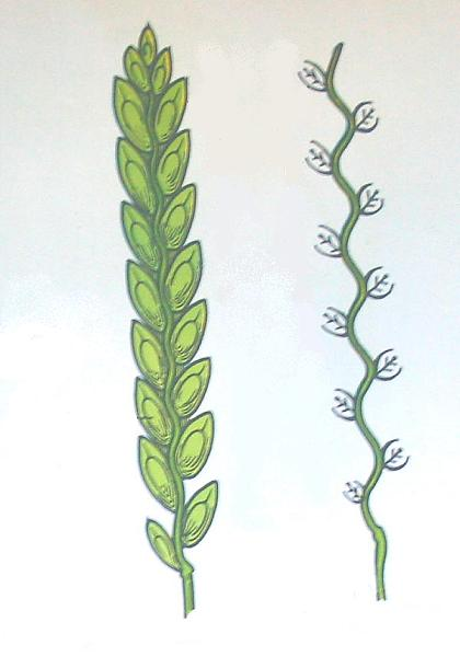 fiori del grano
