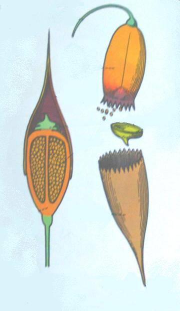 frutto del muschio