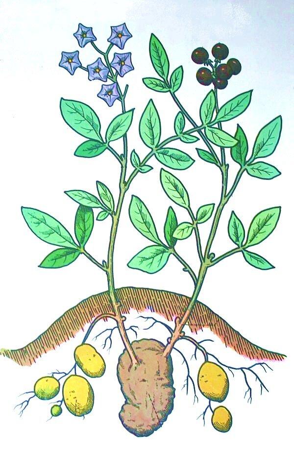 pianta di patata