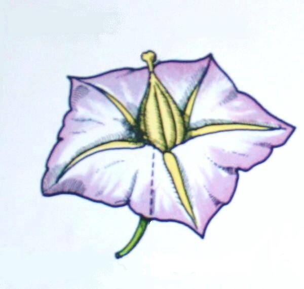 fiore di patata