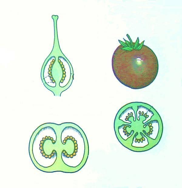 frutto della patata