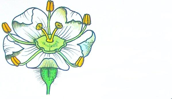 il fiore della carota