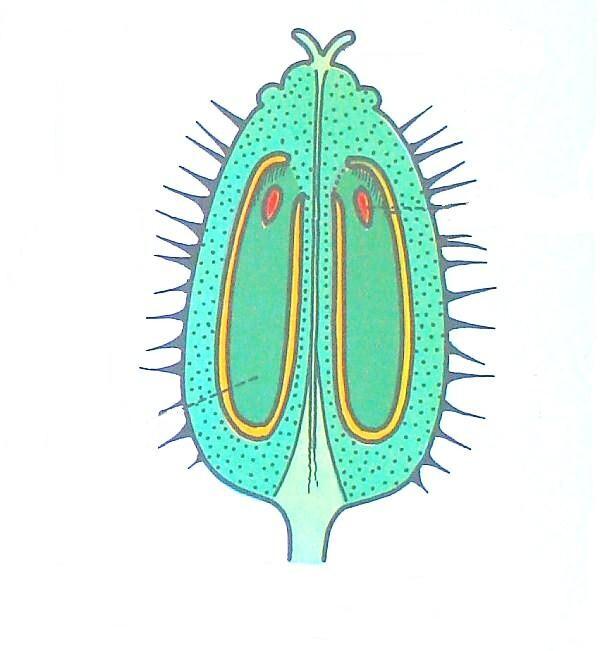 frutto verde della carota