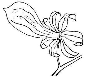 orchidea delle farfalle