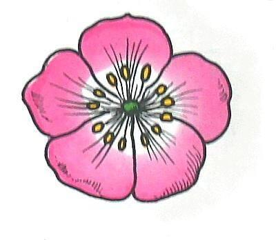 ROSACEE (ciliegio) 5 petali e 5 sepali disposti a rosa