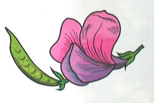 LEGUMINOSE (pisello) petali diseguali, corolla irregolare, frutti a baccello