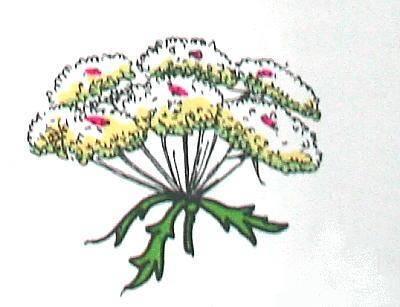 OMBRELLIFERE (carota) fiori disposti a ombrello