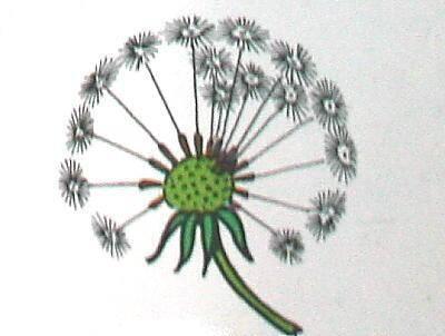 COMPOSTE (soffione) più fiori in un'inflorescenza a capolino