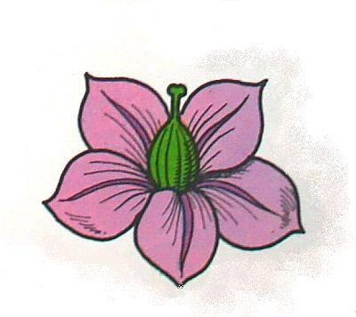 SOLANACEE (patata) 5 petali e 5 sepali uniti