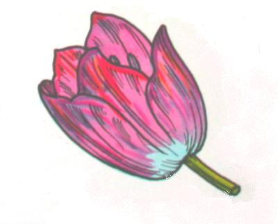 LILIACEE (tulipano) piante a bulbo fiori a 6 petali