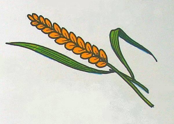 GRAMINACEE (grano) fusto cavo (o culmo) infiorescenza a spiga