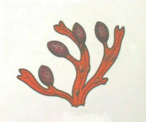 alghe: ne radici ne fusto ne foglie