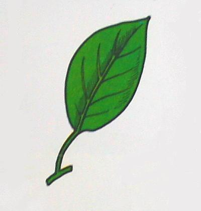foglie a nervature non parallele