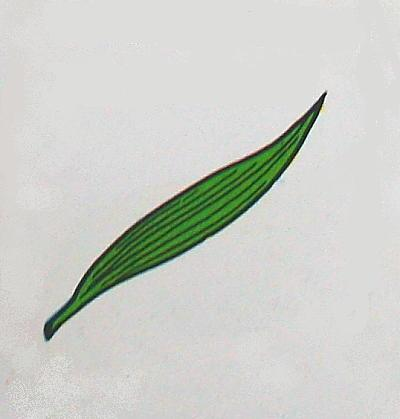 foglie a nervature parallele