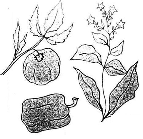pomodoro peperone e tabacco