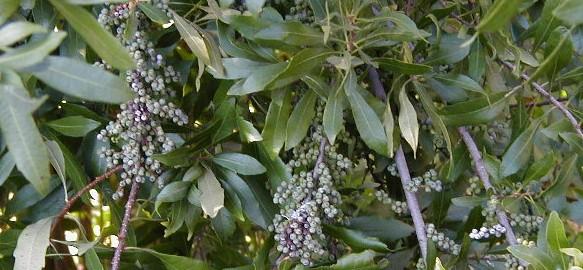 albero della cera
