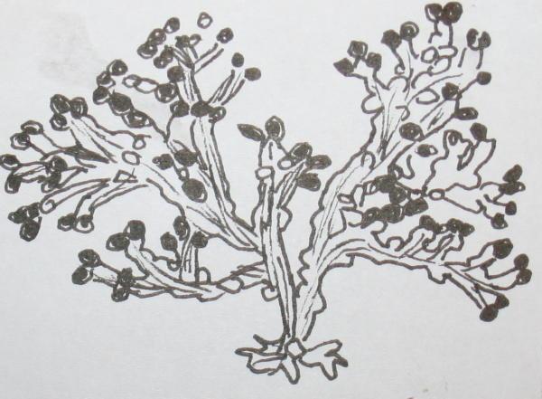 cambriano alghe brune 41