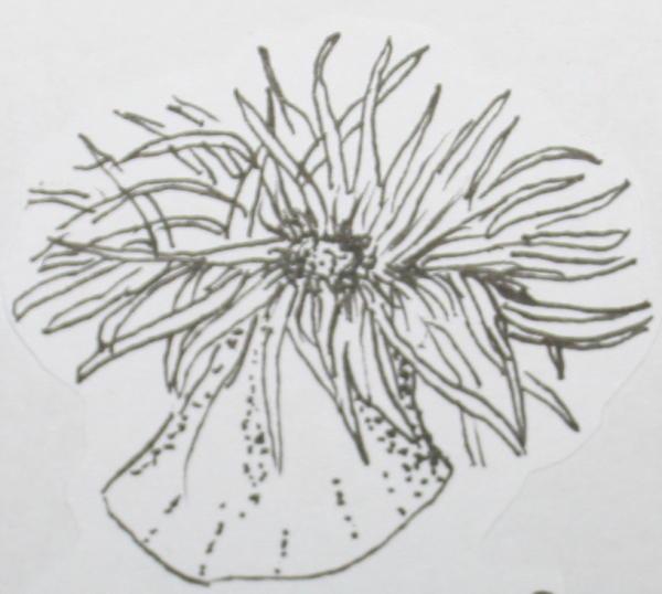 cambriano anemone 33
