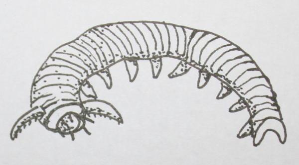 cambriano aysheaia peduncolata 37