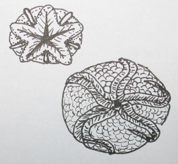 cambriano cistoidi 38
