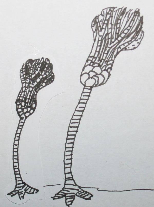 cambriano crinoidi 35