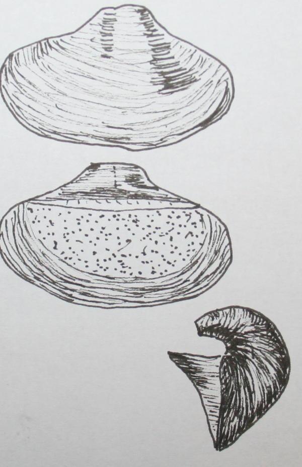 cambriano kutorgina 31