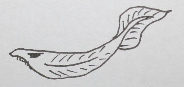 cambriano lancelet 48
