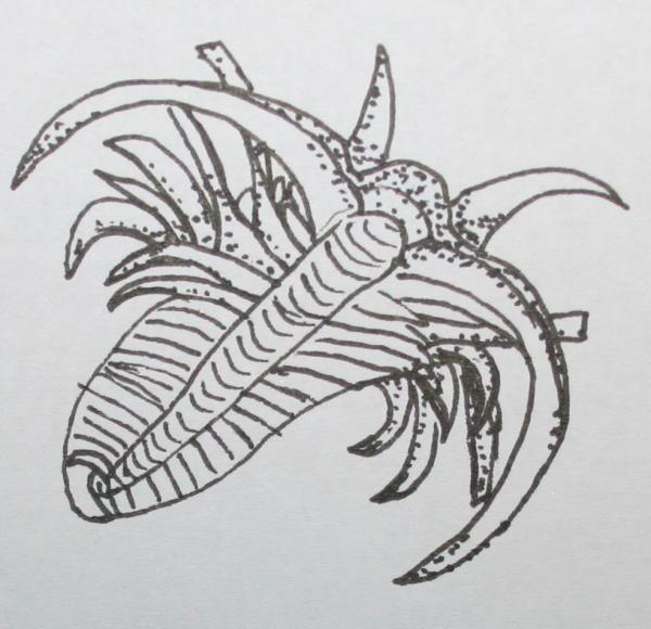 cambriano marrella 45