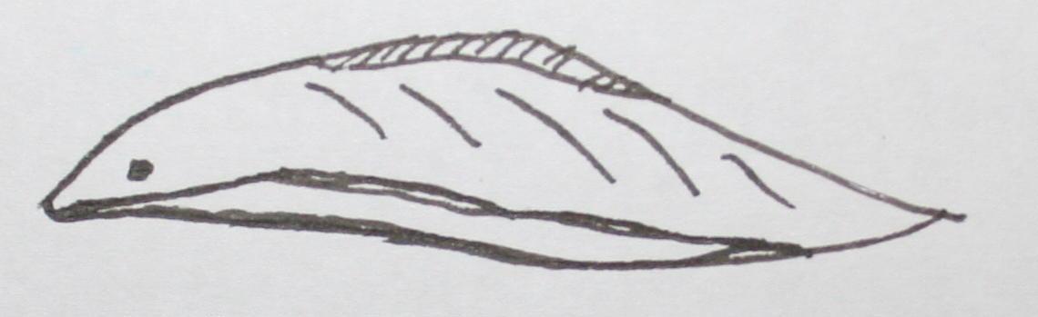 cambriano mylloncunmingia 46
