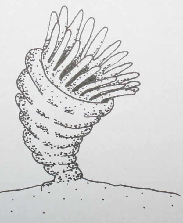 cambriano tetracoralli 32