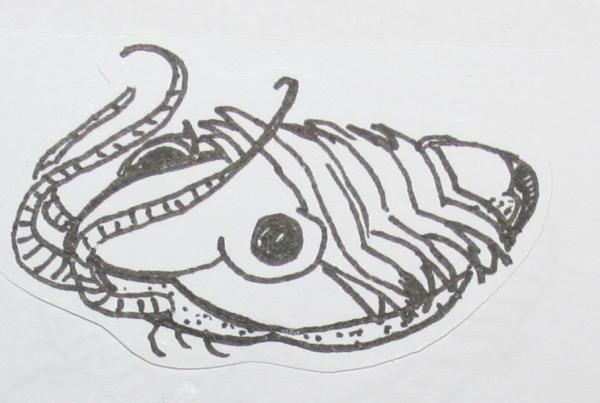 cambriano trilobiti 42