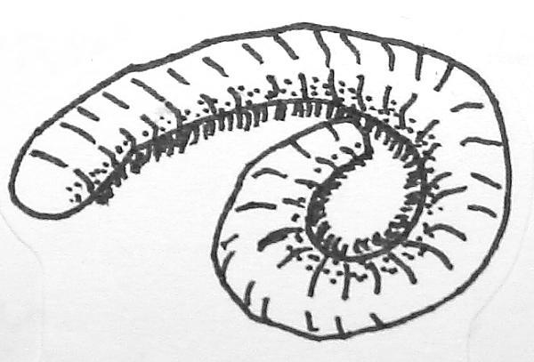 pneumodesmus68